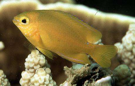 Lemon damselfish. Photo by David C. Cook, courtesy FishBase
