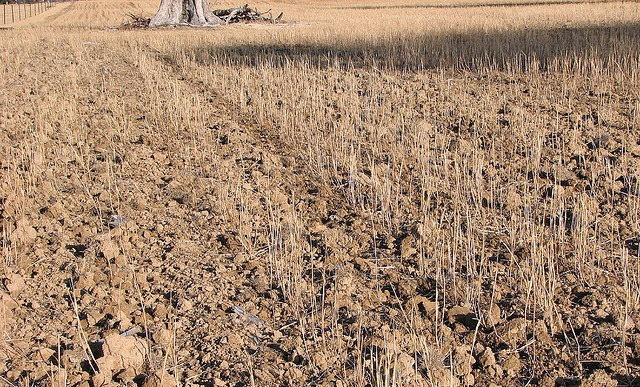 Wheat crop withered by drought.: David Kelleher via Flickr.