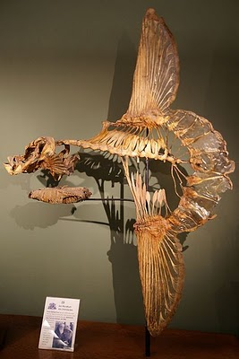 Skeleton of an ocean sunfish, Mola mola, Naturhistorisches Museum Wien. Credit: Sandstein, courtesy Wikimedia Commons.