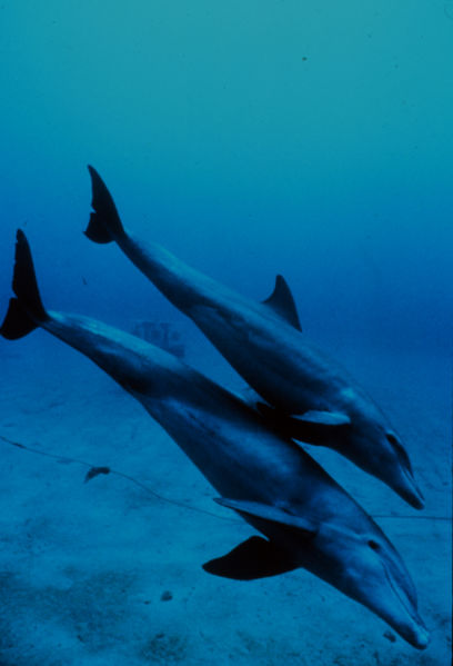 Mother and calf bottlenose dolphins. Photo by M. Herko, courtesy NOAA, via Wikimedia Commons.