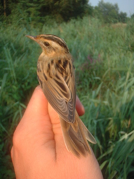 Aquatic warbler (Acrocephalus paludicola). Photo by S. Seyfert, courtesy Wikimedia Commons.