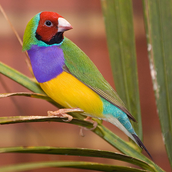 Male Gouldian finch. Credit: Martybugs, courtesy Wikimedia Commons.