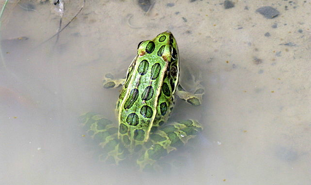 Northern leopard frog (Rana pipiens): Credit: Balcer via Wikimedia Commons.