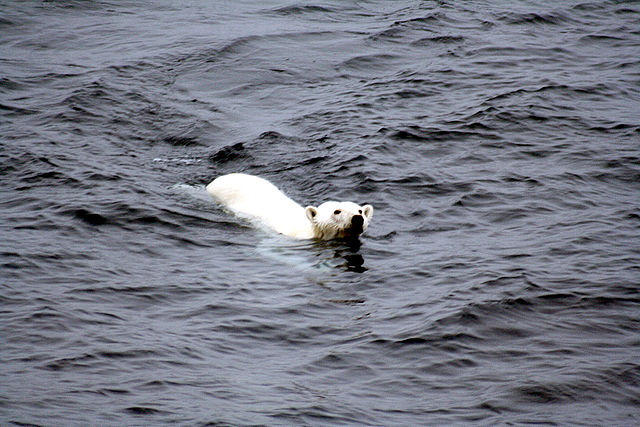 Polar bear.: Credit: Mila Zinkova via Wikimedia Commons.
