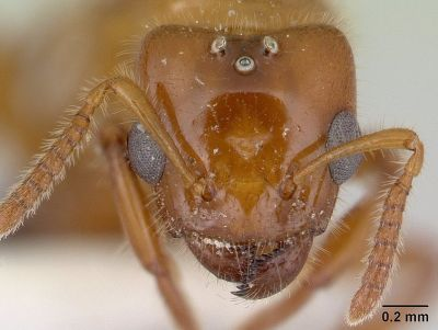 Head view of ant Petalomyrmex phylax. Credit: AntWeb.org, courtesy Wikimedia Commons.