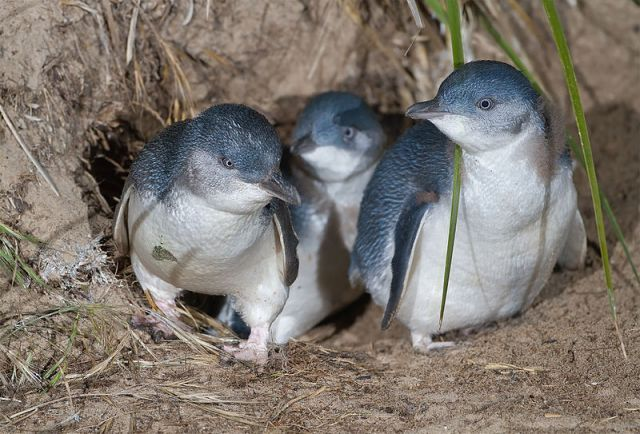 A family of little blue penguins, Eudyptula minor, exit their nest burrow.: Credit: Noodle snacks via Wikimedia Commons.