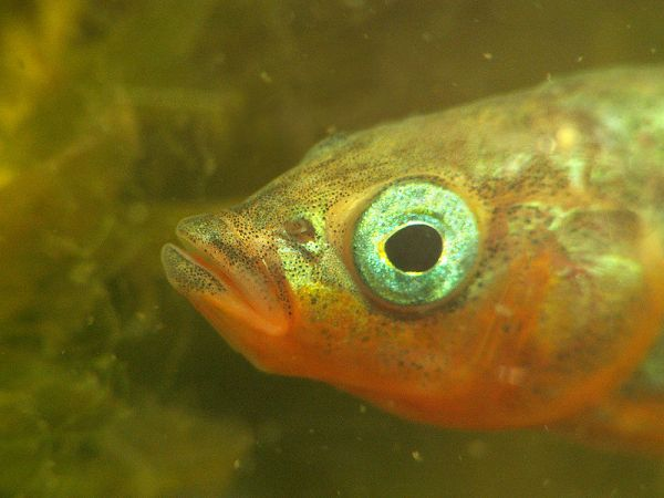Three-spined stickleback (Gasterosteus aculeatus). Credit: Piet Spaans, courtesy Wikimedia Commons.