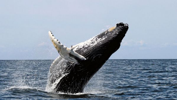 Humpback whale. Photo by Whit Welles Wwelles14, via Wikimedia Commons.