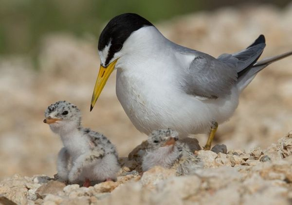Least tern, Sternula antillarum, with chicks. Photo by Dan Pancamo, courtesy Wikimedia Commons.