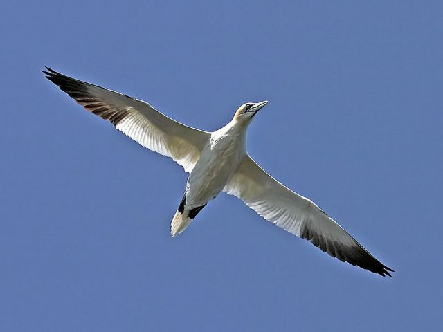 Northern gannet in flight. : Credit: Andreas Trepte via Wikimedia Commons.