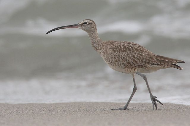 Whimbrel (Numenius phaeopus). Credit: Mdf  at Wikimedia Commons.