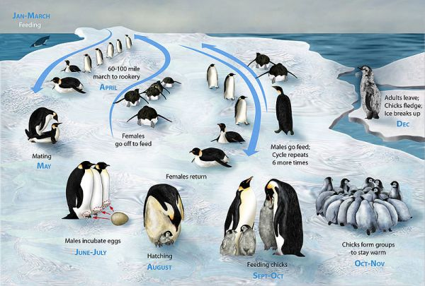Life cycle of emperor penguins. Image: Zina Deretsky, National Science Foundation.