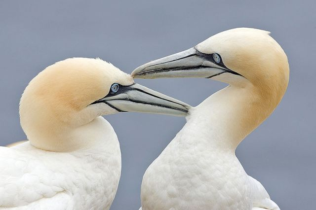A bonded pair of northern gannets.: Credit: Alan D. Wilson via Wikimedia Commons.
