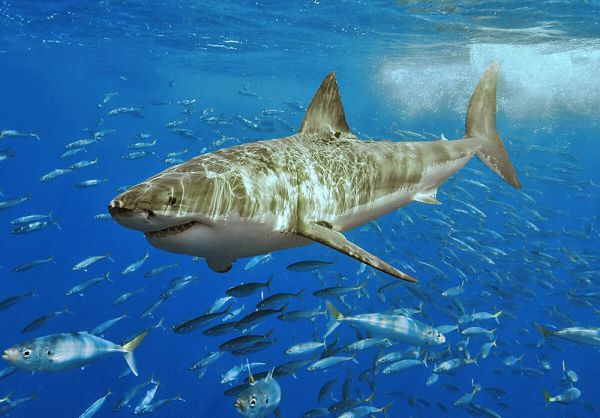 Great white shark, Carcharodon carcharias. Credit: Pterantula via Wikimedia Commons.