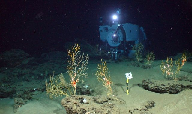 During six dives in Alvin, the team collected sediments and samples of the corals and filtered the brown material off of the corals for analysis: courtesy of Chuck Fisher, Pennsylvania State University, and Timothy Shank, WHOI. Deep-sea time-lapse camera system provided by WHOI-MISO.
