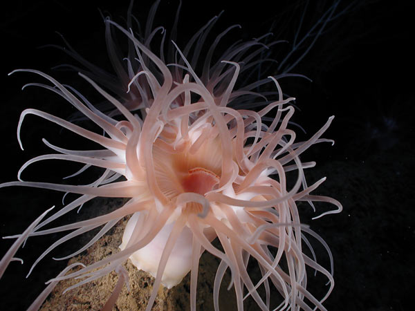 Anemone attached to a carbonate boulder at 1,500 meters/4,921 feet depth in the Gulf of Mexico. Credit: Aquapix and Expedition to the Deep Slope 2007, NOAA-OE.