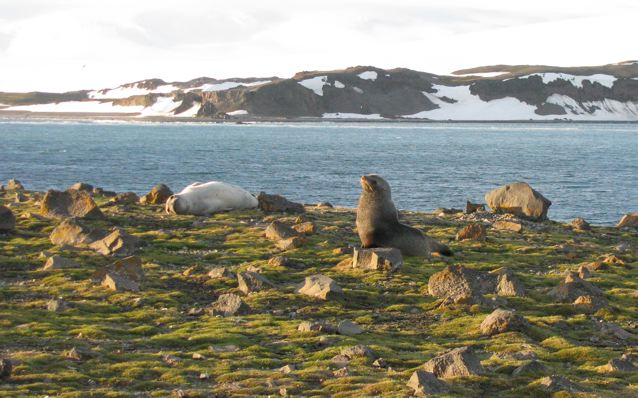 Antarctic fur seal (right), Weddell seal (left), Penguin Island, South Shetland Islands, Antarctica.: Credit: © Julia Whitty.