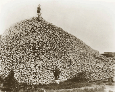 American Bison skull heap. There were as few as 750 bison in 1890 from economic-driven overhunting. Image courtesy Wikimedia Commons.