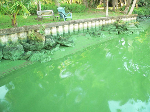 The (sludgy) greening: Florida's polluted Caloosahatchee River. Courtesy of Sierra Club Florida.