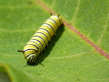 A monarch caterpillar lounges on a milkweed leaf. : Dave Gavoni/Flickr