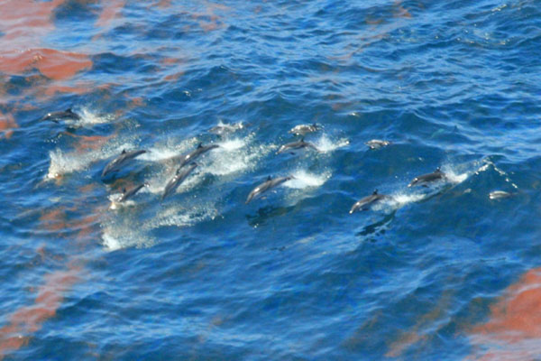 Dolphins jumping through oily water from BP's Deepwater Horizon blowout, Gulf of Mexico, July 2010.: NOAA.
