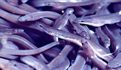 Elvers. Photo by Uwe Kils, courtesy Wikimedia Commons.