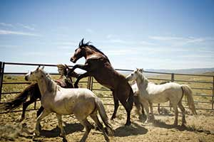 Extremely skittish, recently captured mustangs show the challenge the inmates face.