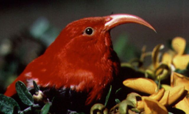 ʻIʻiwi, or scarlet Hawaiian honeycreeper, Vestiaria coccinea.: Credit: Paul Banko, NPS.
