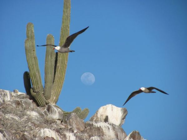 Heermann's gulls and a cardón cactus, both endemic to the Gulf of California and the Baja Peninsula. Photo © Julia Whitty.