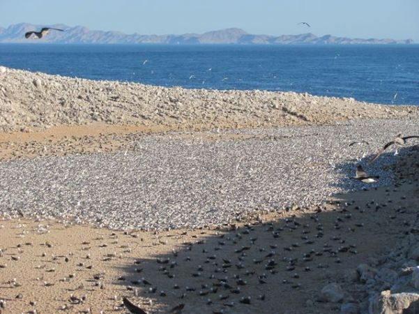 Elegant tern colony in the midst of Heermann's gulls, Isa Rasa, Mexico. Photo © Julia Whitty.