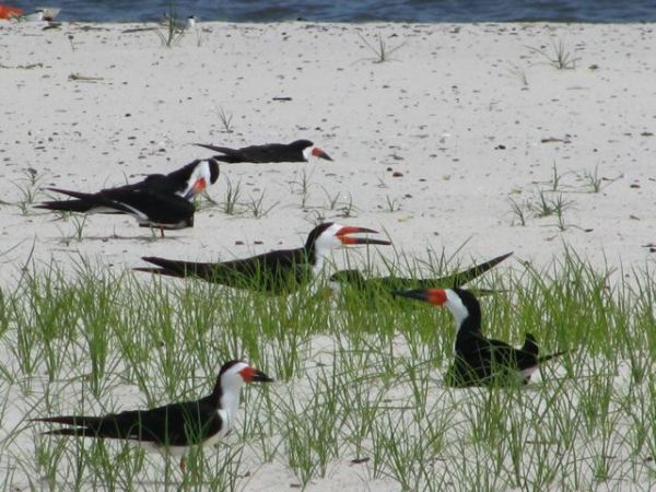 Black skimmers on the nest, Mississippi. Photo © Julia Whitty.