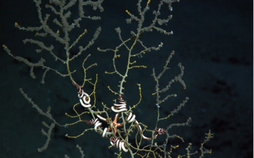 Brown woolly material and tissue loss was first observed on corals in November 2010 at sites 11 km southwest of the Macondo well: Courtesy Chuck Fisher, PSU. Copyright Woods Hole Oceanographic Institution.