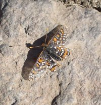 Quino checkerspot butterfly. Photo courtesy the US Fish & Wildlife Service.