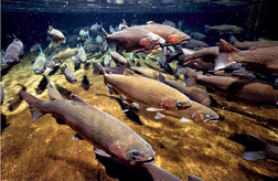 Salmon spawning in the Hanford Reach of the Columbia River, at the site of 30 years of radioactive releases. Credit: US Department of Energy, via Wikimedia Commons.