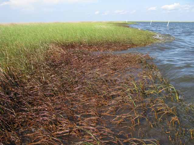 Oiled marshes, Barataria Bay, June 2010.: The Louisiana Universities Marine Consortium. Credit: ©Julia Whitty.
