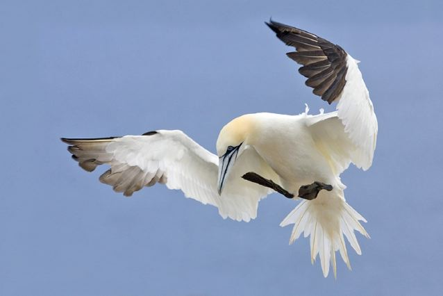 Northern gannet. : Credit: Alan D. Wilson via Wikimedia Commons.