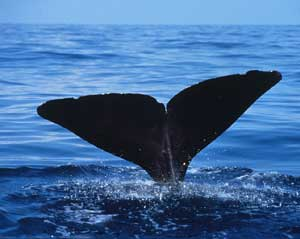 Sperm whale. Photo courtesy NOAA, via Wikimedia Commons.