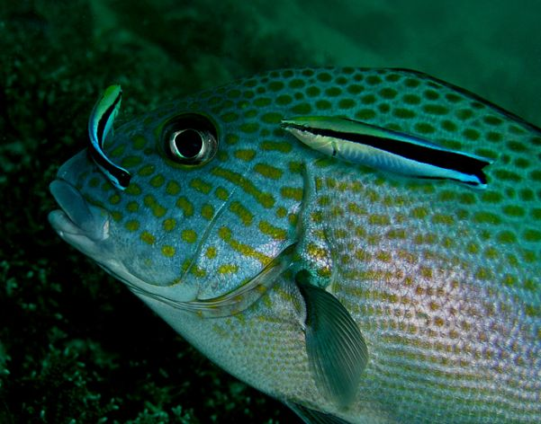 Two cleaner wrasses, Labroides dimidiatus, working a sweetlips. Photo by Nhobgood, courtesy Wikimedia Commons.