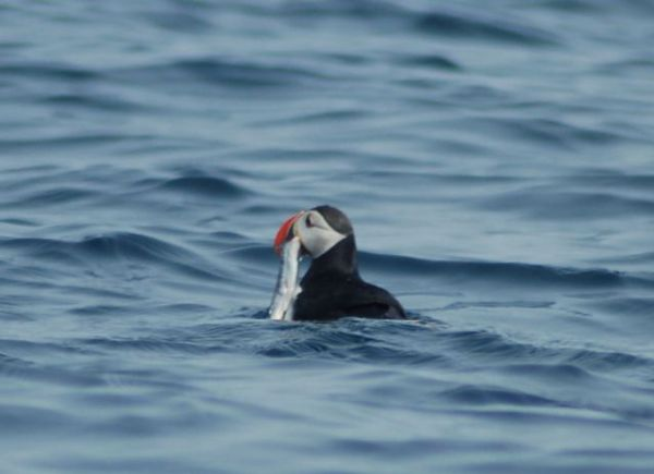 Puffin with capelin. Credit: Nilfanion via Wikimedia Commons.