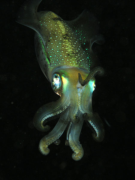 Squid, possibly the bigfin reef squid, Sepioteuthis lessoniana. Credit: Nhobgood at Wikimedia Commons.