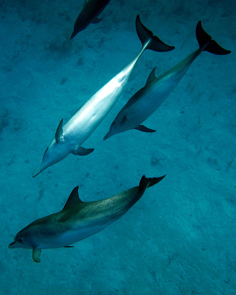 Atlantic spotted dolphins. Photo by Bmatulis, via Wikimedia Commons.