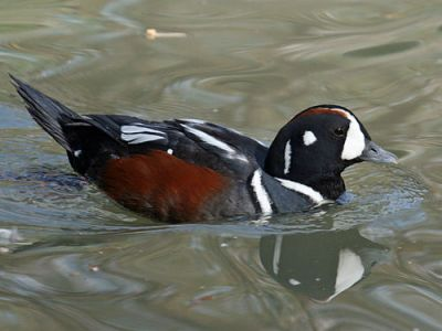 Harlequin duck. Credit: Dick Daniels, carolinabirds.org, courtesy Wikimedia Commons