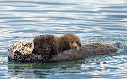 Sea otter nursing pup.: Mike Baird via Wikimedia Commons.
