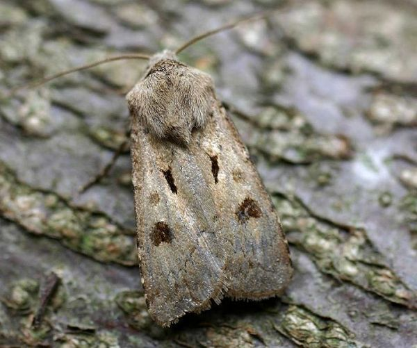 Heart and dart moth, Agrotis exclamationis. Credit: ©Entomart.ins, via Wikimedia Commons.
