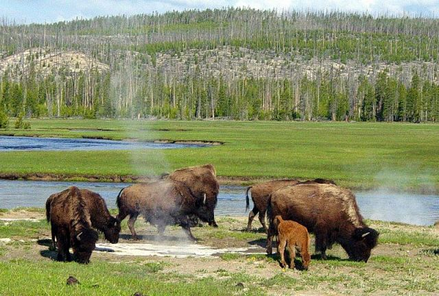 Yellowstone National Park.: Credit: Daniel Mayer via Wikimedia Commons.