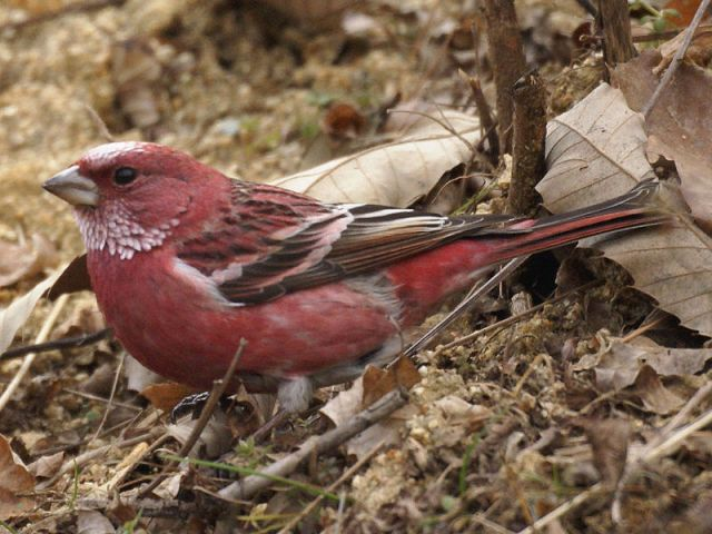 Pallus' rosefinch, Carpodacus roseus, native to China, Japan, the Korean Peninsula, Kazakhstan, Mongolia, and Russia.: Credit: M. Nishimura via Wikimedia Commons.