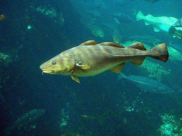 Atlantic cod, Gadus morhua. Credit: Hans-Petter Fjeld via Wikimedia Commons.