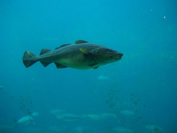 Atlantic cod. Credit: Hans-Petter Fjeld (CC-BY-SA), via Wikimedia Commons.