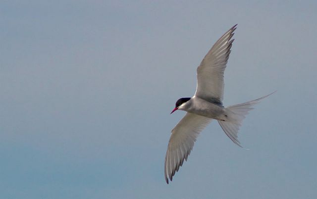Arctic tern. Photo by Malene Thyssen, courtesy Wikimedia Commons.