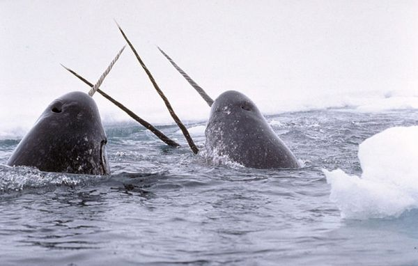 Narwhals tusking. Credit: Glenn Williams, NIST.